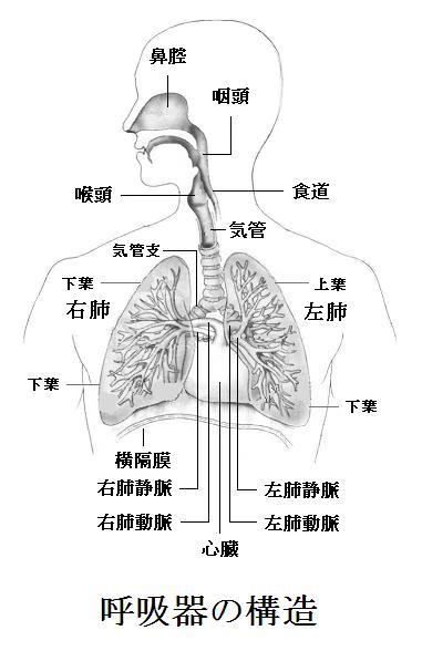 と は 器 系 呼吸